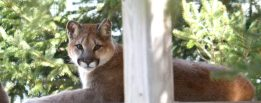 wildcatcougars
